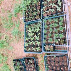 種まき/花苗/花のある暮らし/ガーデニング/園芸/フォロー大歓迎/... 我が家の花苗、野菜苗達。 種から育てる過…(2枚目)