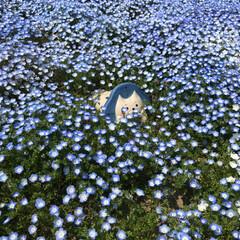 春のフォト投稿キャンペーン/はじめてフォト投稿 ネモフィラ畑にねこふぃらちゃん