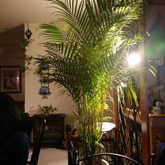 おうち時間を楽しむ/おうち時間/観葉植物/ベランダ/リビング リビングには背の高いアレカヤシ🌴 テーブ…(1枚目)