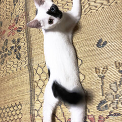 白黒/オッドアイ/男の子/猫/ネコ/ペット 謎のポージング笑