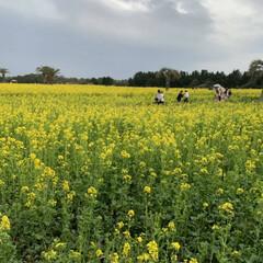 春のフォト投稿キャンペーン 伊良湖の菜の花畑🌷🌸🌺🌻