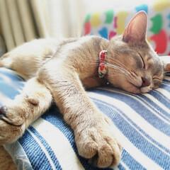 猫部/ネコ好き/猫好き仲間募集/猫好き集まれ/ネコ/フォロー大歓迎/... 熟睡中😪💤💤