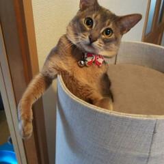 ネコ好き/猫好き集まれ/猫好き仲間/ねこ/ネコ/にゃんこ同好会/... キャットタワーからこんな格好で見られてま…