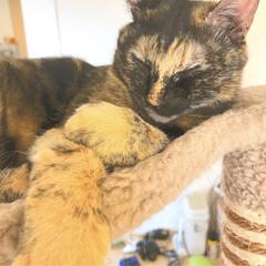 サビ猫/猫と暮らす/アニマルエイド うちのサビ猫ちゃん、スフレちゃんです😁 …