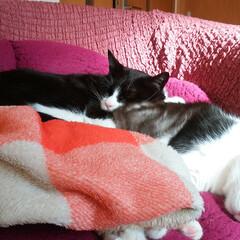 猫/ネコ/ねこ/おやすみショット 2匹でお昼寝😸