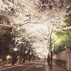 花見 六本木一丁目で撮った夜桜です。ライトアッ…