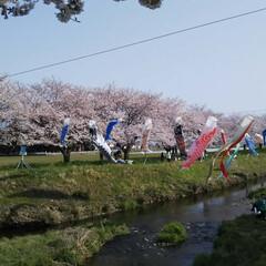 わたしのGW 桜と鯉のぼりの美しいタッグです。