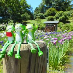 横須賀/しょうぶ/カエル/雨季/雨季ウキフォト投稿キャンペーン 横須賀のしょうぶ園に行ったときの一枚です。