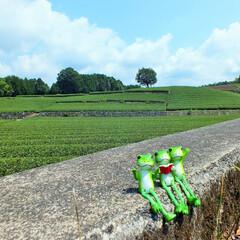 富士市/茶畑/カエル/梅雨時/雨季ウキフォト投稿キャンペーン 梅雨時の茶畑の写真を撮りに行ったときの一…
