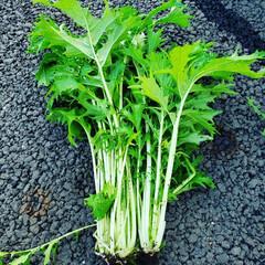 水菜サラダ/今晩のツマミ/家庭菜園/暮らし/フォロー大歓迎/節約 今年三度目の水菜収穫🙋 シャキシャキして…