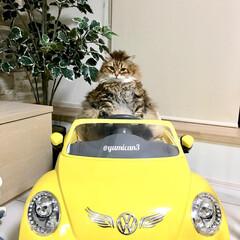 令和の一枚/はじめてフォト投稿/LIMIAペット同好会/にゃんこ同好会/サイベリアン/巨大猫/... 僕の車でドライブしない?