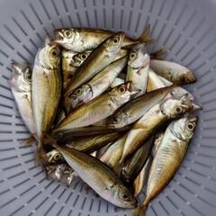 天ぷら/唐揚げ/豆アジ/小さいアジ/魚釣り/おうちごはん 先日、魚釣りに行きました。 小さいアジが…