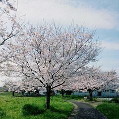 Park/CherryBlossoms/CherryBlossom/SAKURA/散歩コース/公園/... 私のお散歩コース、公園です、桜が綺麗で満…
