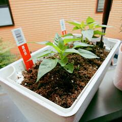 暮らし/ベランダ/野菜/ハーブ/スパイス/植物/... 狭いベランダに出来る事