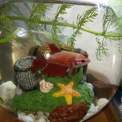 ラブリー/可愛い/pet/aquarium/癒し/多趣味/... ベタ魚を飼いました。ぽっちゃり、食いしん…