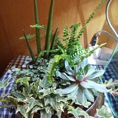 ベタ/熱帯魚/水槽/メダカ/もーりー魚/観葉植物/... 私の癒し😊