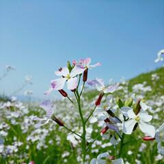 ちゅーりっぷ/tulip/blossom/SAKURA/flowers/beautiful/...