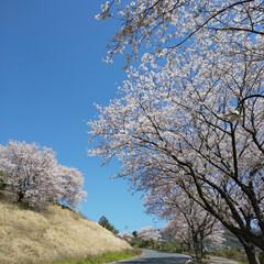 サクラ/桜/並木/さくら/SAKURA/CherryBlossom/...
