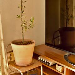 アラフォー夫婦/二人暮らし/転勤族/賃貸インテリア/緑のある暮らし/幼稚園の椅子/... 年明けに届いた新しい観葉植物、 ふるさと…