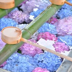 一眼レフ/寺院/京都/あじさい/紫陽花/雨季ウキフォト投稿キャンペーン/... ずっと行きたかった場所、 友人に連れて行…