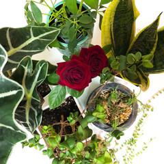 植物のある暮らし/緑のある暮らし/観葉植物/おしゃれ/暮らし 最近ハマってる観葉植物。  植物によって…