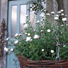 日々の暮らし/ハンギング/花かんざし/植物と暮らす/植物のある暮らし/小さな庭/... こんばんは。❇ 初投稿です。🎵まだ不慣れ…