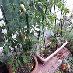 グリーンカーテン/ミニトマト栽培/ミニトマト収穫/ミニトマト/ミニトマトアイコ/家庭菜園/... 今年のグリーンカーテンはミニトマトにしま…(2枚目)