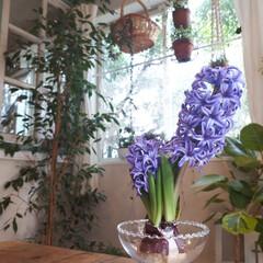ヒヤシンス水耕栽培/ヒヤシンス/観葉植物のある暮らし/観葉植物インテリア/植物と暮らす/植物棚/... 庭に咲いたお花を部屋に飾っている時が幸せ…(2枚目)