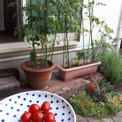 グリーンカーテン/ミニトマト栽培/ミニトマト収穫/ミニトマト/ミニトマトアイコ/家庭菜園/... 今年のグリーンカーテンはミニトマトにしま…(1枚目)
