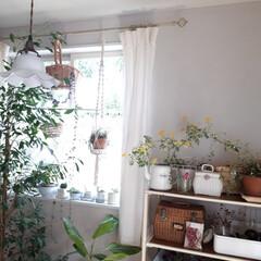 ヒヤシンス水耕栽培/ヒヤシンス/観葉植物のある暮らし/観葉植物インテリア/植物と暮らす/植物棚/... 庭に咲いたお花を部屋に飾っている時が幸せ…(9枚目)