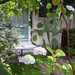 ガーデニング/小さな庭/植物のある暮らし/花のある暮らし/紫陽花/雨季ウキフォト投稿キャンペーン/... 梅雨の楽しみは雨の日でも美しい庭の紫陽花…