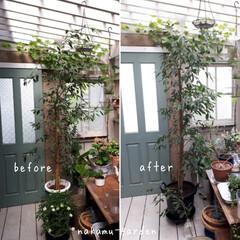 デッキ/小屋の中/ベンジャミン/観葉植物/観葉植物のある暮らし/観葉植物インテリア/... ベンジャミンの植え替えをしました。🌿根が…
