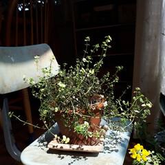 ヒヤシンス水耕栽培/ヒヤシンス/観葉植物のある暮らし/観葉植物インテリア/植物と暮らす/植物棚/... 庭に咲いたお花を部屋に飾っている時が幸せ…(8枚目)