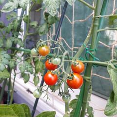 グリーンカーテン/ミニトマト栽培/ミニトマト収穫/ミニトマト/ミニトマトアイコ/家庭菜園/... 今年のグリーンカーテンはミニトマトにしま…(4枚目)