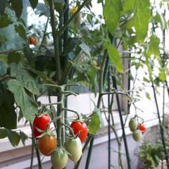 グリーンカーテン/ミニトマト栽培/ミニトマト収穫/ミニトマト/ミニトマトアイコ/家庭菜園/... 今年のグリーンカーテンはミニトマトにしま…(3枚目)