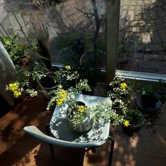 ヒヤシンス水耕栽培/ヒヤシンス/観葉植物のある暮らし/観葉植物インテリア/植物と暮らす/植物棚/... 庭に咲いたお花を部屋に飾っている時が幸せ…(7枚目)