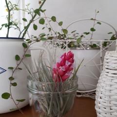 ヒヤシンス水耕栽培/ヒヤシンス/観葉植物のある暮らし/観葉植物インテリア/植物と暮らす/植物棚/... 庭に咲いたお花を部屋に飾っている時が幸せ…(10枚目)