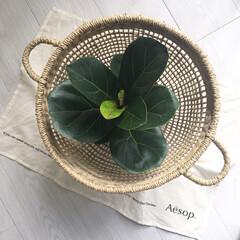 ニトリ新商品/ニトリの自然素材/観葉植物インテリア/観葉植物/観葉植物のある暮らし/カシワバゴム/... ニトリのシーグラスバスケット♡ 可愛い♡