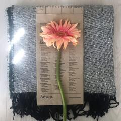 切り花/春らしい/アンティークカラー/ガーベラの花/ガーベラの花びら/ガーベラ/... アンティークカラーのガーベラ❁⃘*.゚ …