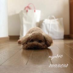 私のペット/犬好きな人と繋がりたい/ふわもこ部/犬好き/愛犬/トイプードル 夏の一枚🐶 どうせ、僕を置いて行くんでし…