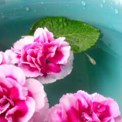 カーネーション/母の日/花/ペット/ベランダ/メダカ/... 子供達が少し早めの母の日にとプレゼントし…