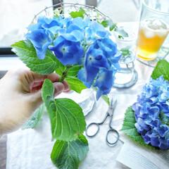 blue/花/ライフスタイル/花のある暮らし/あじさい/アジサイ/... . . ベランダの紫陽花がたくさん咲きま…