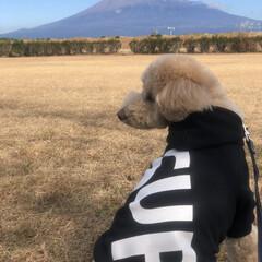 親バカ部/親バカ/トイプードルアプリコット/トイプードル/トイプードル部/雪化粧/... 今日は久々の富士山とCOAちゃん🐩コラボ…(2枚目)