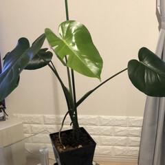 葉割れ/モンテスラ/観葉植物インテリア/観葉植物 やっと葉割れヶ所が2ヶ所の葉🌱が開きまし…