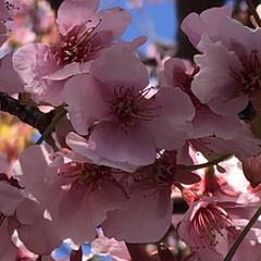 花見/桜/河津桜 河津桜🌸見に行って来ました😊 去年は凄ー…(3枚目)