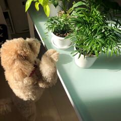 ポトス/テーブルヤシ/シュガーバイン/トイプードルアプリコット/トイプードル部/観葉植物 お昼取った後、日光☀️があたるテーブルの…