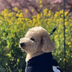 花見/桜/河津桜 河津桜🌸見に行って来ました😊 去年は凄ー…