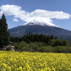 富士山/菜の花畑/トイプードル部/トイプードルアプリコット/トイプードル 今日は菜の花畑🌼と富士山🗻の見れる『白糸…(3枚目)