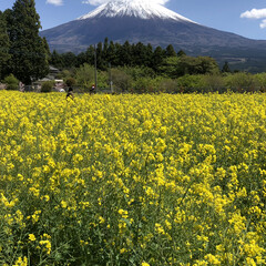 富士山/菜の花畑/トイプードル部/トイプードルアプリコット/トイプードル 今日は菜の花畑🌼と富士山🗻の見れる『白糸…(1枚目)