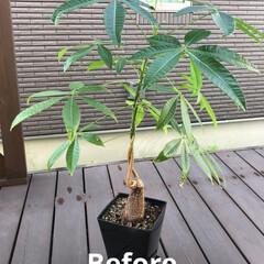パキラ/ガジュマル/コーヒーの木/植え替え 今日は以前から気になっていた大きくなった…